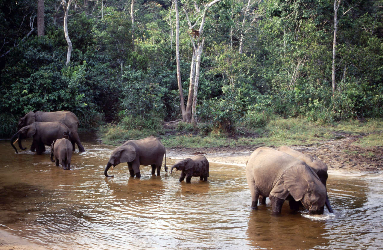Forest elephants